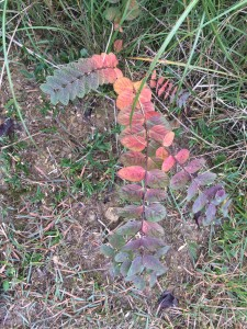 小さな紅葉1。