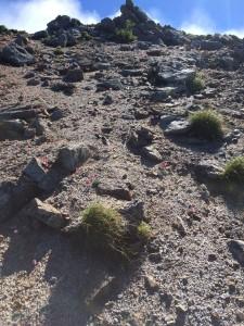 岩稜下のコマクサ。